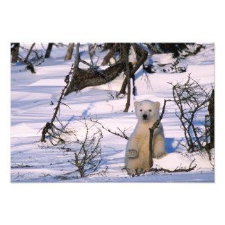 3 month old polar bearcoy) standing at scrub photo