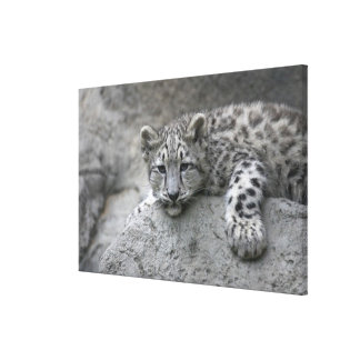 4 month old Snow leopard cub draped over a rock Stretched Canvas Prints