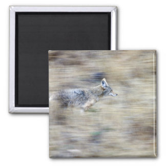 A coyote runs through the hillside blending into square magnet