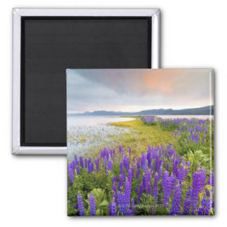 A field of Lupine wildflowers on the North Shore Square Magnet