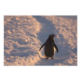 A gentoo penguin pauses for a rest during a photographic print