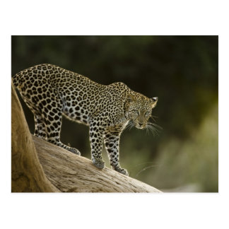 African Leopard, Panthera pardus, in a tree in 2 Postcard