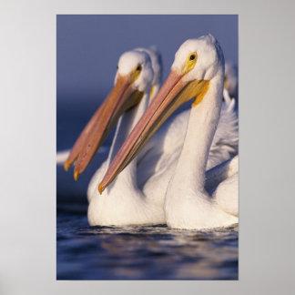 American White Pelican, Pelecanus Poster