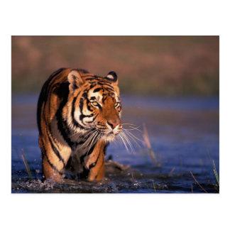 Asia, India, Bengal tiger Panthera tigris); Postcard