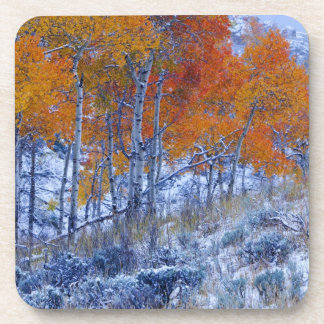 Aspen trees in Fall colors, Bighorn Mountains, Drink Coaster