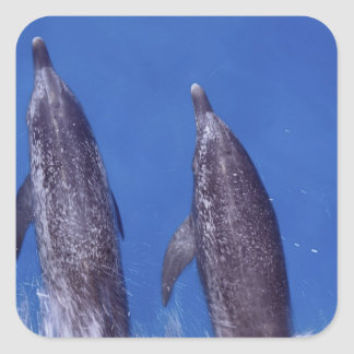 Atlantic spotted dolphins. Bimini, Bahamas. 4 Square Sticker