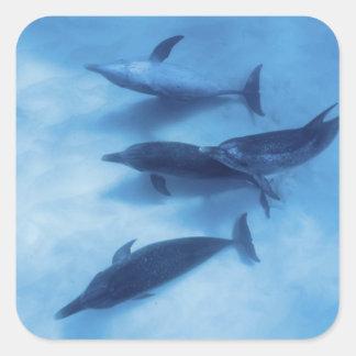 Atlantic spotted dolphins. Bimini, Bahamas. 7 Square Sticker