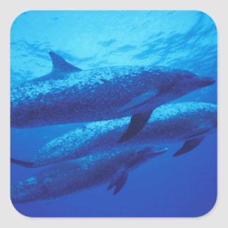 Bahamas, Spotted dophins. Square Sticker