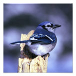 Beautiful Blue Jay bird Photo Art
