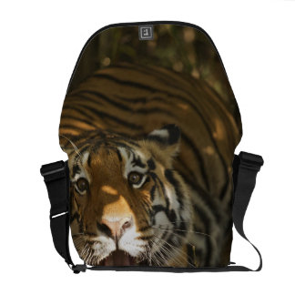 Bengal tiger resting, yawning commuter bags