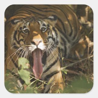 Bengal tiger resting, yawning square sticker