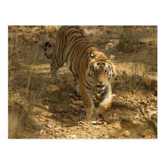 Bengal Tiger walking Postcard
