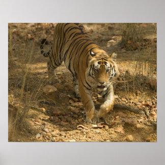 Bengal Tiger walking Poster