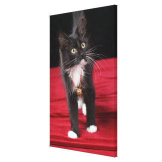 Black & white short-haired kitten, 2 1/2 months stretched canvas print