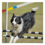 Border Collie Agility Poster