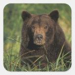 brown bear, Ursus arctos, grizzly bear, Ursus 9 Square Sticker
