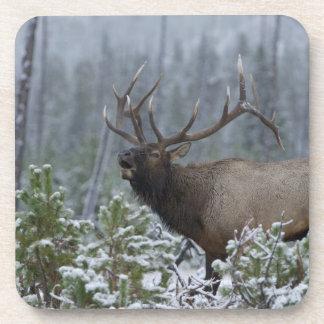 Bull Elk in snow calling, bugling, Yellowstone Coaster