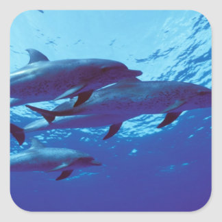 Caribbean, Bahamas Spotted dolphins Square Sticker
