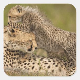 Cheetah, Acinonyx jubatus, with cub in the Masai 3 Square Sticker