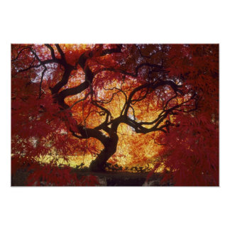 Connecticut: Darien, Japanese maple 'Acer Poster