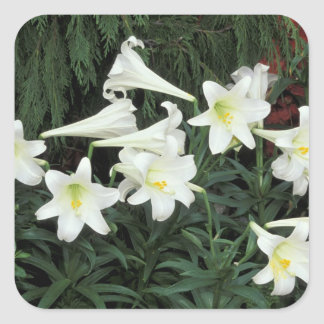 Easter Lily (Lilium regale) Square Sticker