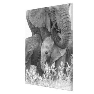 Female Elephant Re-Assuring Two Calves (Samburu) Stretched Canvas Print