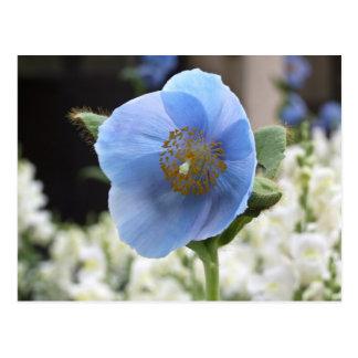 Himalayan Blue Poppy Postcard