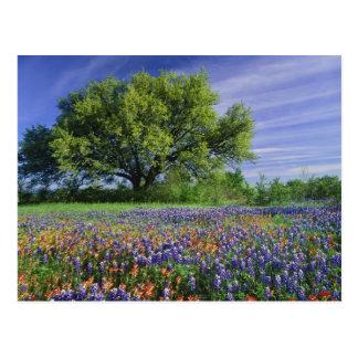 Live Oak & Texas Paintbrush, and Texas Postcard
