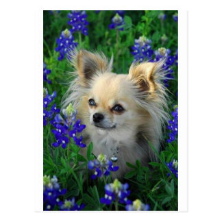 Long Coat Chihuahua in Blue Bonnets Postcard