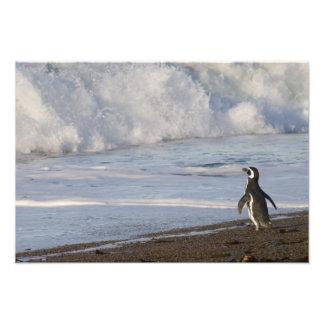 Magellanic Penguin, spheniscus magellanicus, Art Photo
