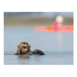 Male adult sea otter in Elkhorn Slough, California Postcard