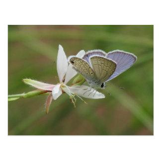 Marine Blue Butterfy on Gaura Bloom Postcard