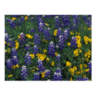 N.A, USA, Texas, Marble Falls, Blue Bonnets Postcard