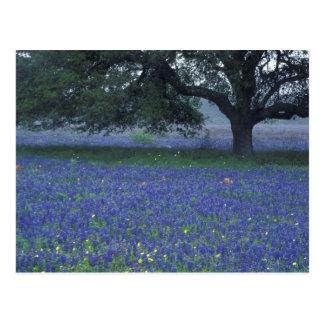 NA, Texas, Devine, Oak and blue bonnets Postcard