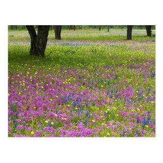Oak Trees with field of Phlox, Blue Bonnets Postcard