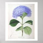 Purple Hydrangea Botanical Drawing Poster Print
