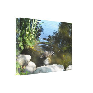 Raccoon in the Stream Canvas Prints