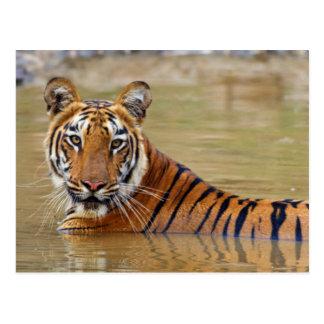 Royal Bengal Tiger at the waterhole Postcard