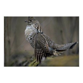 Ruffed grouse drumming poster