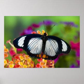 Sammamish, Washington. Tropical Butterflies 70 Poster