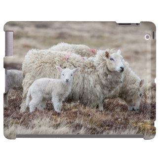Shetland Sheep 2