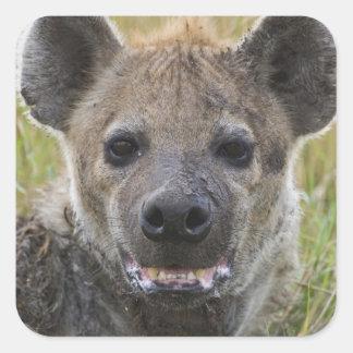 Spotted Hyena portrait, Crocuta croduta, Masai Square Sticker