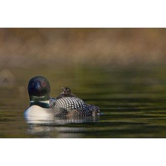Canada, British Columbia,Common Loon, breeding