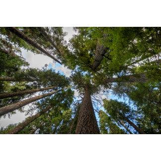 Douglas Fir tree canopy
