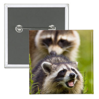 The raccoon, Procyon lotor, is a widespread, 2 Inch Square Button