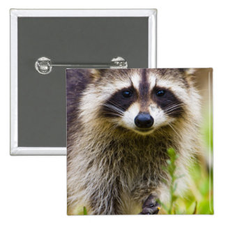 The raccoon, Procyon lotor, is a widespread, 3 2 Inch Square Button