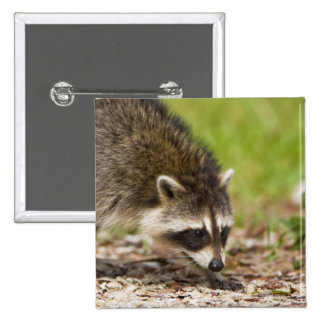 The raccoon, Procyon lotor, is a widespread, 4 2 Inch Square Button