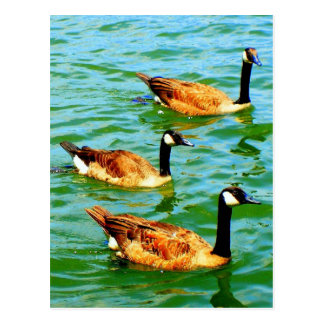 Three Canadian Geese Postcard