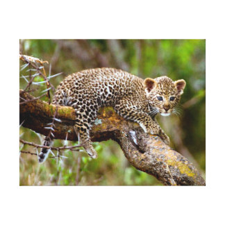 Three Month Old Leopard (Panthera Pardus) Cub Gallery Wrapped Canvas