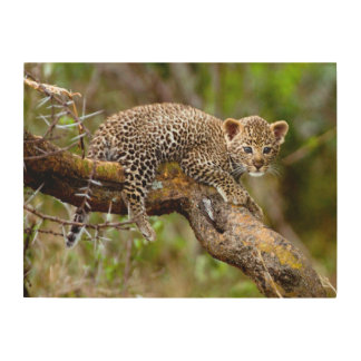 Three Month Old Leopard (Panthera Pardus) Cub Wood Canvases